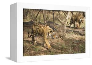 Royal Bengal Tiger (Tigris Tigris) Cubs, Ranthambhore, Rajasthan, India by Janette Hill