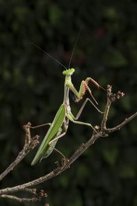 Stick Mantis (Mantodea), captive, Zambia, Africa by Janette Hill