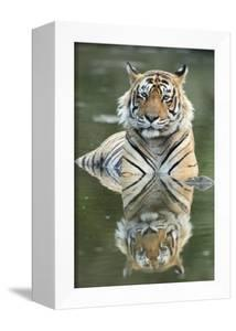 Ustaad, T24, Royal Bengal Tiger (Tigris Tigris), Ranthambhore, Rajasthan, India by Janette Hill