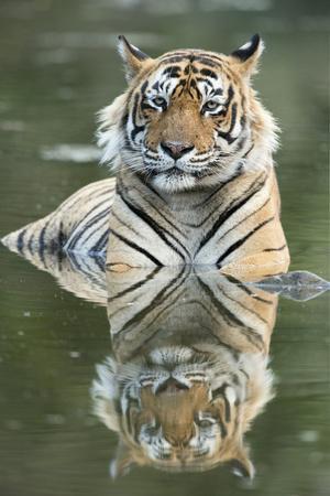 Ustaad, T24, Royal Bengal Tiger (Tigris Tigris), Ranthambhore, Rajasthan, India