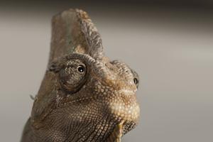 Veiled chameleon (Yemen chameleon) (Chamaeleo Calyptratus), captive, United Kingdom, Europe by Janette Hill
