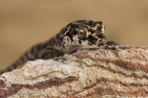Viper Gecko (Teratolepis fasciata), captive, Pakistan, Asia by Janette Hill