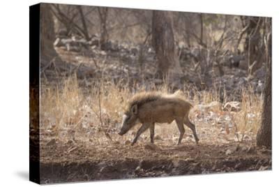 Wild Boar, Ranthambhore National Park, Rajasthan, India, Asia