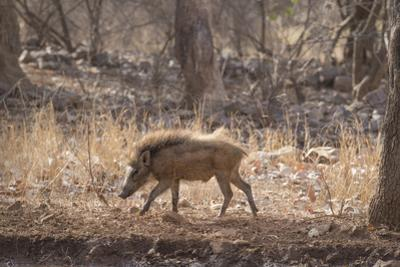 Wild Boar, Ranthambhore National Park, Rajasthan, India, Asia by Janette Hill