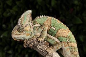 Yemen Chameleon (Chameleon Calyptratus), captive, Yemen, Middle East by Janette Hill
