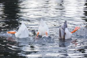 Three funny ducks upside down by Janis Abolins