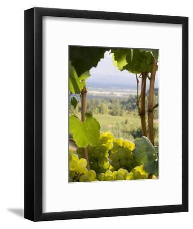 Chardonnay Grapes in the Knudsen Vineyard, Willamette Valley, Oregon, USA