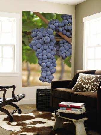Close Up of Cabernet Sauvignon Grapes, Haras De Pirque Winery, Pirque, Maipo Valley, Chile