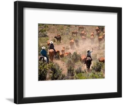 Cowboys and Cowgirls Driving Cattle through Dust in Central Oregon, USA