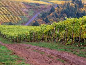 Dirt Road Along Acres of Vines at Knutsen Vineyard in the Willamette Valley, Oregon, USA by Janis Miglavs