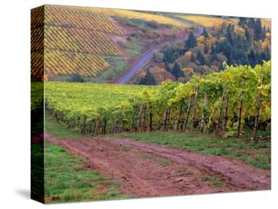 Dirt Road Along Acres of Vines at Knutsen Vineyard in the Willamette Valley, Oregon, USA