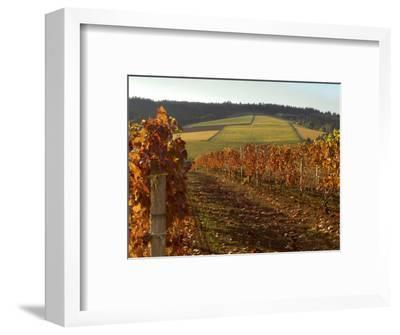 Fall Colors Over the Knudsen Vineyard, Willamette Valley, Oregon, USA