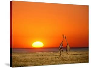 Giraffes Stretch their Necks at Sunset, Ethosha National Park, Namibia by Janis Miglavs