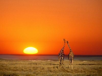 Giraffes Stretch their Necks at Sunset, Ethosha National Park, Namibia