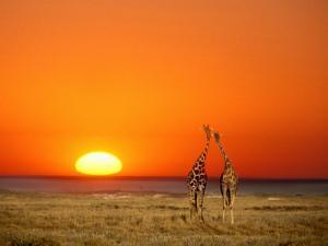 Giraffes Stretch their Necks at Sunset, Ethosha National Park, Namibia by Janis Miglavs