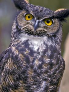 Great Horned Owl by Janis Miglavs