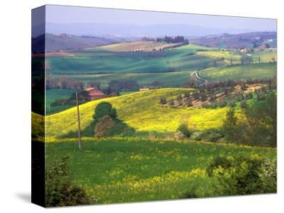 Green Rolling Hills and Spotted Yellow Mustard Flowers, Tuscany, Italy