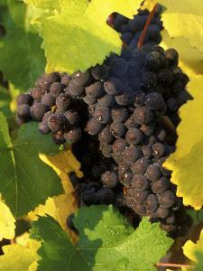 Pinot Noir Grapes Ready to be Harvested in the Fall, Sherwood, Oregon, USA by Janis Miglavs