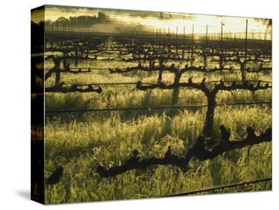 Stelling Vineyard on Oakville Grade Road, near Oakville, Napa Valley, California