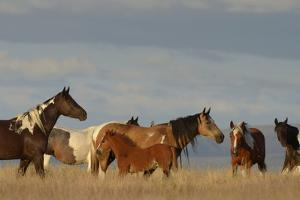 USA, Oregon, Harney County. Wild Horses on Steens Mountain by Janis Miglavs