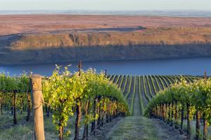 USA, Washington. the Benches Vineyard in the Horse Heaven Hills Ava by Janis Miglavs