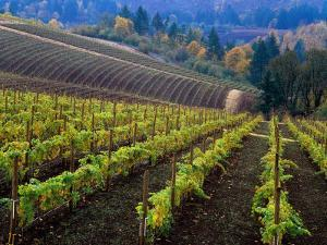 Vineyard in the Willamette Valley, Oregon, USA by Janis Miglavs