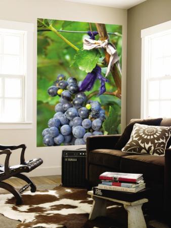 Vineyard Operated By Dynasty Winery Near Jixian, Tianjin Province, China
