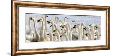 Japan, Hokkaido, Lake Kussharo. Flock of Whooper Swans-Hollice Looney-Framed Photographic Print