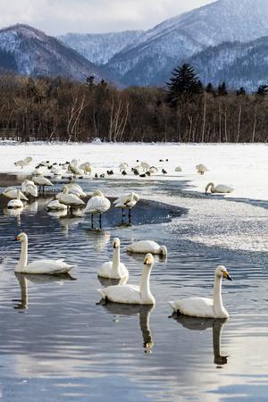 https://imgc.artprintimages.com/img/print/japan-hokkaido-lake-kussharo-whooper-swans-swimming-in-lake_u-l-q1d36at0.jpg?p=0