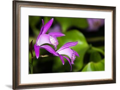 Japan Orchid (Bletilla Striata)-schoolgirl-Framed Photographic Print