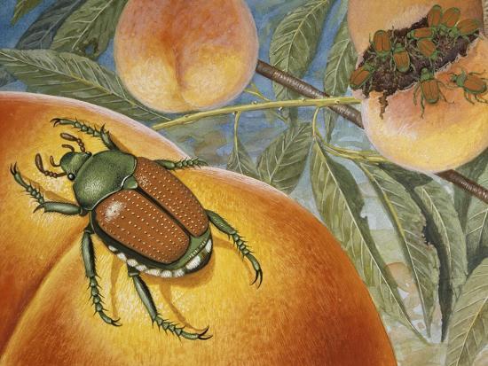 Japanese Beetle (Popillia Japonica), Scarabeidae--Giclee Print