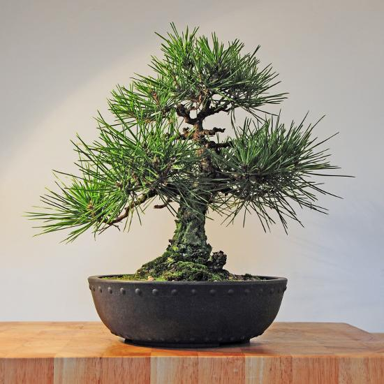 Japanese Black Pine Bonsai Tree Pinus Thunbergii Photographic Print Steve Greaves Art Com