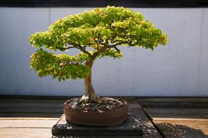 Japanese Bonsai tree in National Arboretum, Washington D.C.
