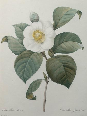 https://imgc.artprintimages.com/img/print/japanese-camellia_u-l-pwbes20.jpg?p=0