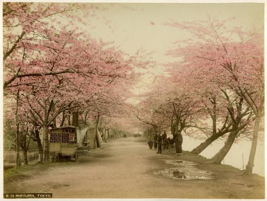 Japanese Cherry Blossom in Mukojima Tokyo Japan--Photographic Print