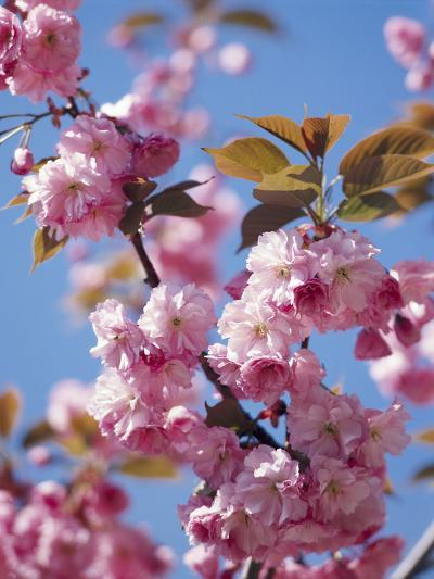 Japanese Cherry Tree, Detail, Branch, Blooms, Spring-Thonig-Photographic Print