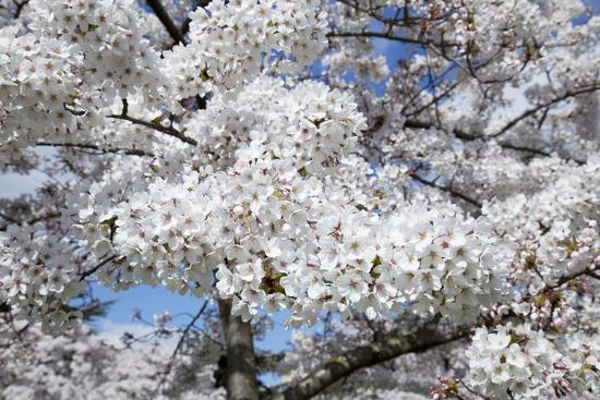 Japanese Cherry Trees in Full Spring Blossom--Photographic Print
