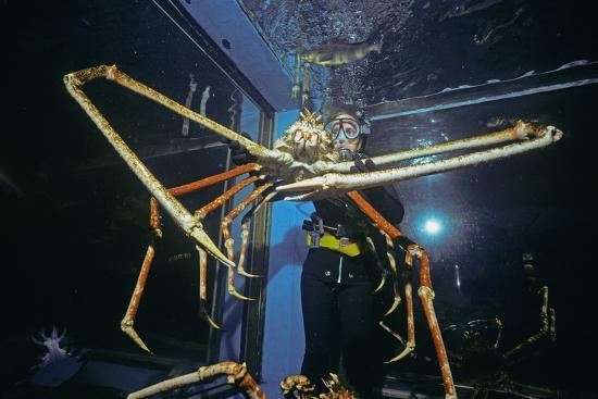Japanese Giant Spider Crab (Macrocheira Kaempferi) World'S Largest Crustacean In Tokyo Aquarium-Jeff Rotman-Photographic Print