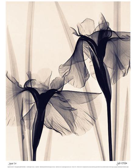 Japanese Iris-Judith Mcmillan-Art Print