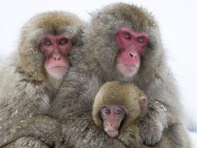 Japanese Macaque Family-Frank Lukasseck-Photographic Print