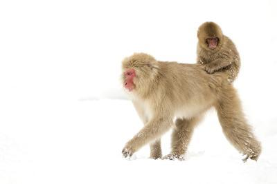 Japanese Macaque (Macaca Fuscata) Carrying Young on Back Through Snow, Nagano, Japan, February-Danny Green-Photographic Print