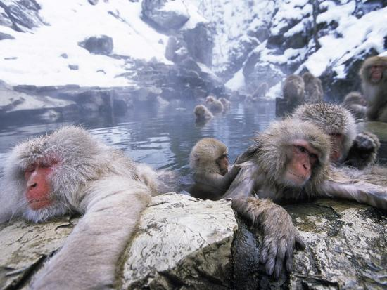 Japanese Macaque (Macaca Fuscata) Group Soaking in Hot Springs, Japan-Ingo Arndt/Minden Pictures-Photographic Print