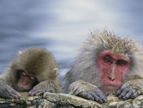 Japanese Macaque (Macaca Fuscata) Mother and Juvenile, Joshinetsu Plateau Nat'l Park, Japan-Ingo Arndt/Minden Pictures-Photographic Print