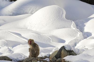 Japanese Macaque (Macaca Fuscata) Perched On The Open Warm Section Of A Rocky Hillside-Diane McAllister-Photographic Print