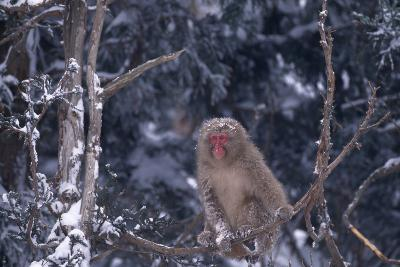 Japanese Macaque on Branch-DLILLC-Photographic Print