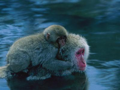 Japanese Macaque, or Snow Monkey, with a Baby in a Hot Spring-Tim Laman-Photographic Print
