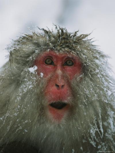 Japanese Macaque, or Snow Monkey, with Ice Tipped Fur-Tim Laman-Photographic Print