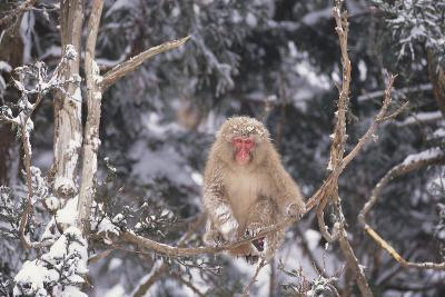 Japanese Macaque Perched on Tree-DLILLC-Photographic Print