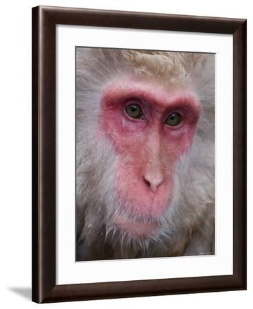 Japanese Macaque, Snow Monkey, Joshin-Etsu National Park, Honshu, Japan-Gavin Hellier-Framed Photographic Print