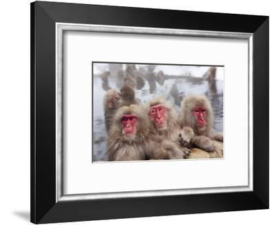 Japanese Macaque, Snow Monkey, Joshin-etsu NP, Honshu, Japan-Peter Adams-Framed Photographic Print